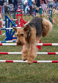 AIREDALE,WELSH,LAKELAND TERRIERS