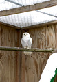 Snowy Owl in flight cage