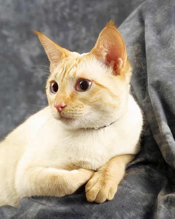 RED SIAMESE